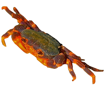 Insulamon sp., a freshwater crab endemic in Palawan.